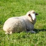 Sheep on grass — Stock Photo #3654248