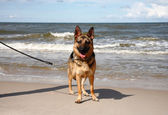 German sheepdog on a beach — Stockfoto