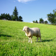 Royalty-Free Stock Photo: One sheep on a green meadow