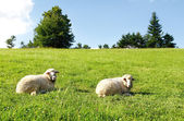 Two sheep on green grass — Stock Photo