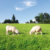 Two sheep in fresh green meadow — Stock Photo
