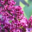 Bunch of violet lilac flower - Photo