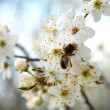 Spring white blossoms - Stock Photo