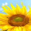 Sunflower on blue sky - Stock Photo