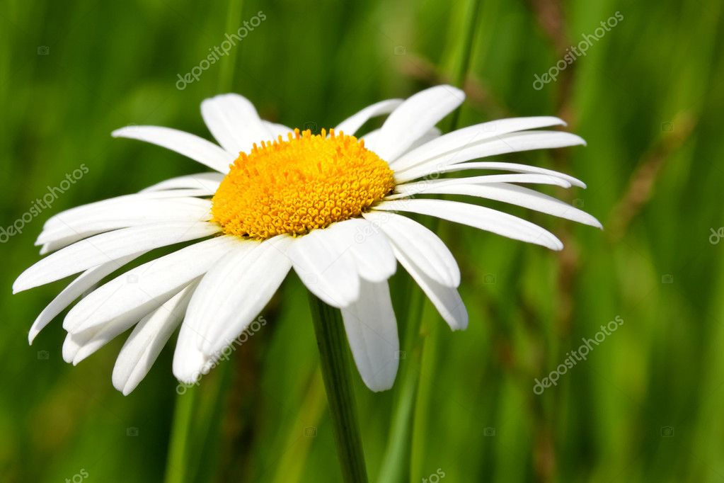 Chamomile — Stock Photo #2718934