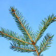 Spruce branch - Stock Photo