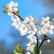 Blossom Flowers — Stock Photo #2735418