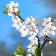 Stock Photo: Blossom Flowers