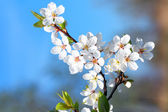 Blossom Flowers — Stock Photo