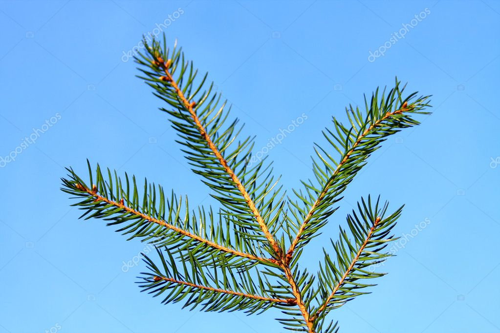 Spruce branch — Stock Photo #2735229