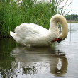 Beautiful swan on a lake - Stock Photo