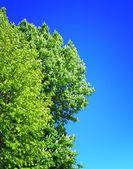 Blossom of horse-chestnut tree — Stock Photo