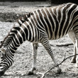 Zebra — Stock Photo #2804032