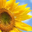 Yellow sunflower — Foto de stock #2818701