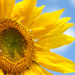 Yellow sunflower — Stock Photo #2818701