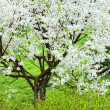 Blossoming tree — Stock fotografie