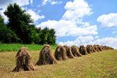 穀類の植物 — ストック写真