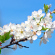 Apple tree , bunch of white flowers — Stock Photo #2976211