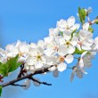 Stock Photo: Apple tree , bunch of white flowers