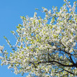 Blossoming tree — Stock Photo #3028456