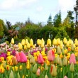 Colorful flowerbeds with tulips - Stok fotoğraf