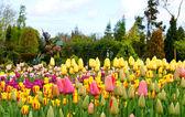 Kolorowe ogrody kwiatowe z tulipany — Zdjęcie stockowe