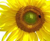Isoliert, sonnenblume — Stockfoto