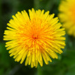 Yellow dandelion — Foto Stock
