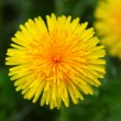 Yellow dandelion — Stockfoto
