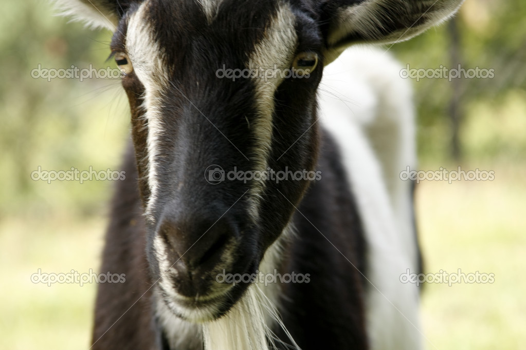 Goat — Stock Photo #3097774