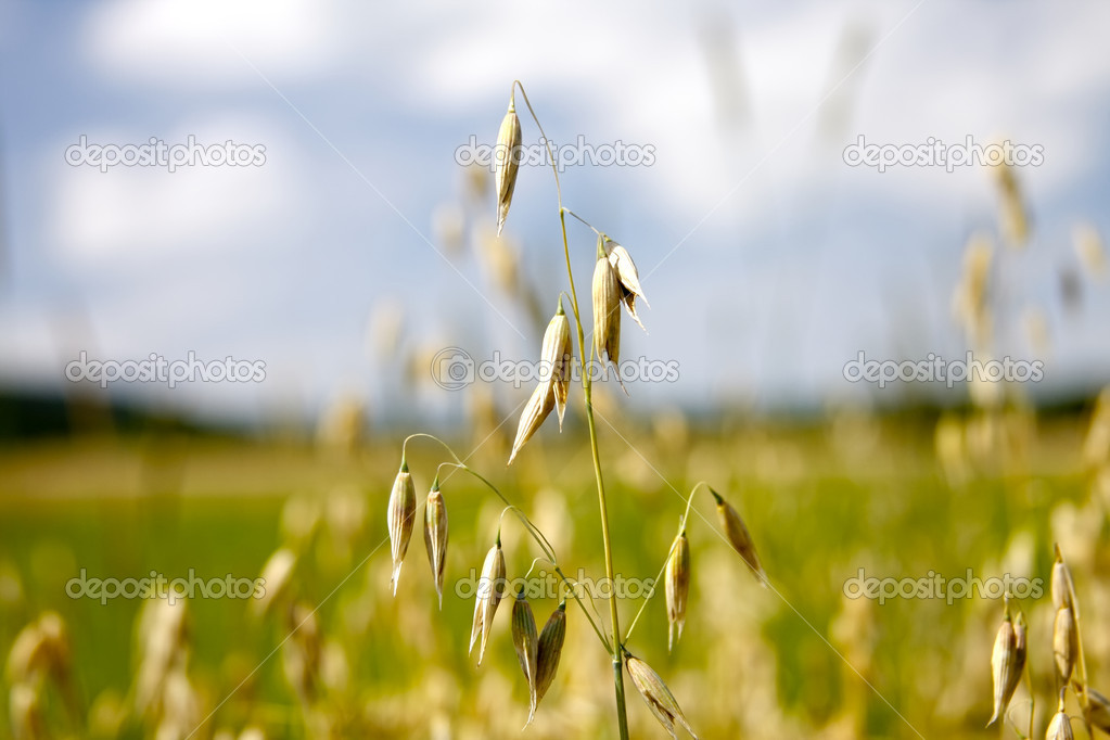 Golden wheat — Stock Photo #3100485