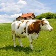 Cow on green field — Stockfoto