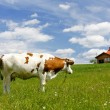 New house and cow on green field — Stock Photo