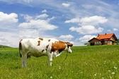 Nowy dom i krowy na zielone pole — Zdjęcie stockowe