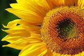 желтый подсолнух — Стоковое фото