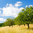 Apple orchard in the mountain — Stock Photo #3160016