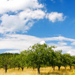 Apple orchard — Stock Photo #3160027