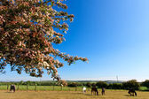 Horses in the field and blossoming tree — Stock Photo