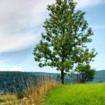 Ash tree — Stock Photo
