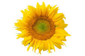 Schöne gelbe sonnenblume — Stockfoto