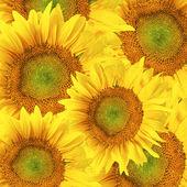 Sunflower background — Foto Stock