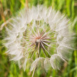 Dandelion — Stock Photo #3400490