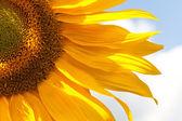 žluté slunečnice — Stock fotografie