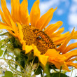 Fantastic sunflower - Stock Photo