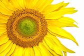 Słonecznik — Zdjęcie stockowe