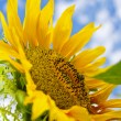 Stock Photo: Beautiful sunflower