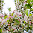 Stock Photo: Spring blossom