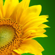 Sunflower on green background — Stock Photo