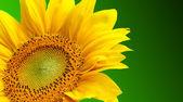 Slunečnice na zeleném pozadí — Stock fotografie