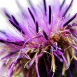 Stock Photo: Thistle background